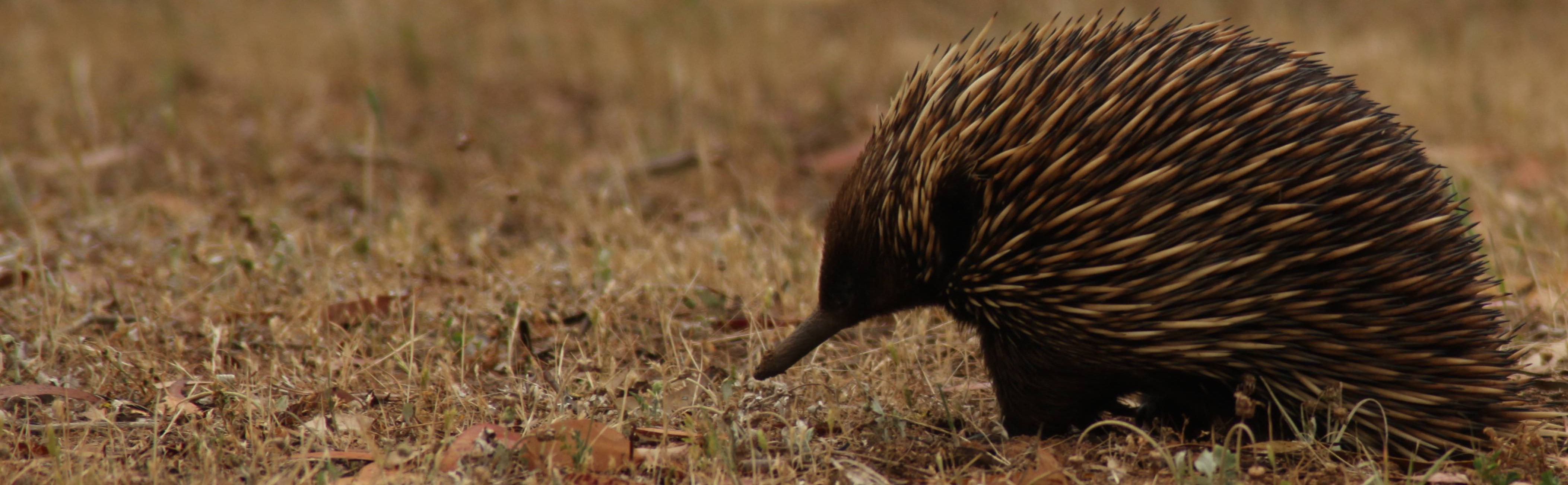 What is an Echidna?